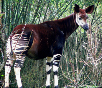 Is it a zebra or what? (Okapi)