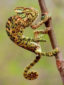 ChameleonWiki