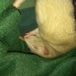 picture of Norwegian white rat napping sweetly on a green blanket with her tail tucked