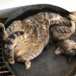 gray brown black tiger striped cat sprawled on its back napping in a pan on the street in the sun